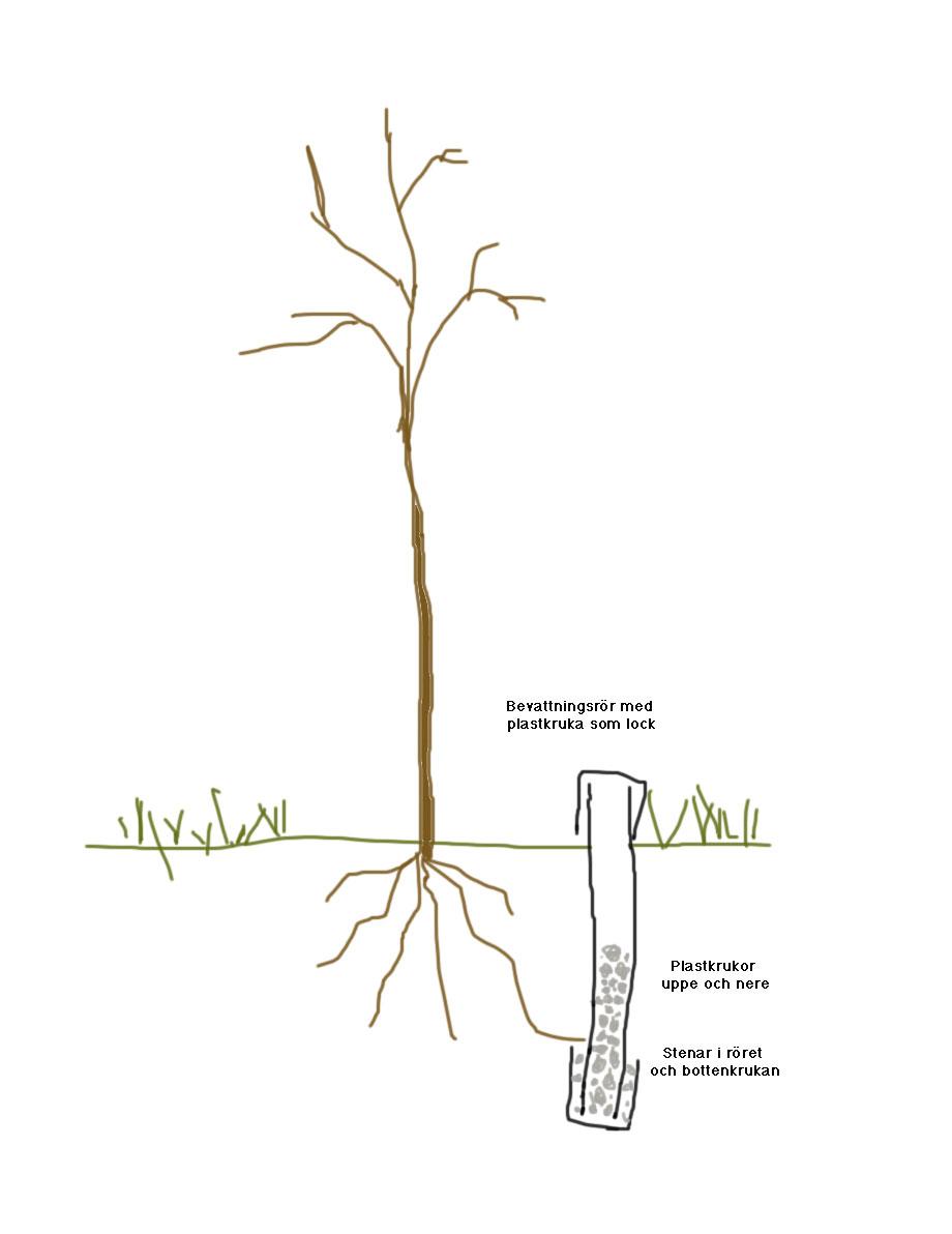 träd som växer fort