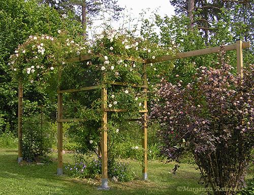 Staket staket rosor : Rosor i trädgården